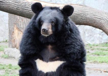 medve epe magas vérnyomásban