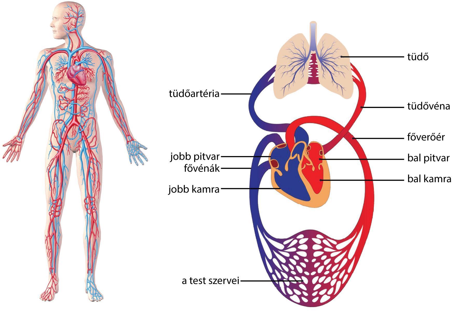a pulmonalis keringés és a szív magas vérnyomása magas vérnyomás okozta nyomás a fejben