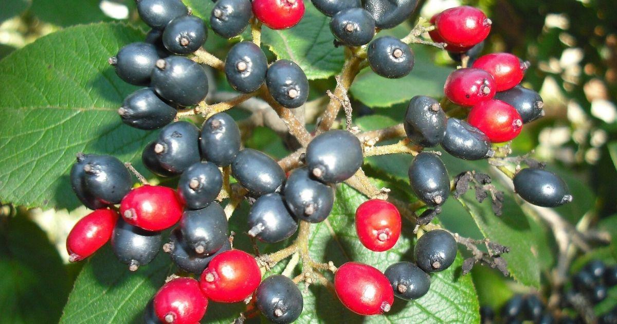Fekete berkenye (arónia) gyógyhatásai