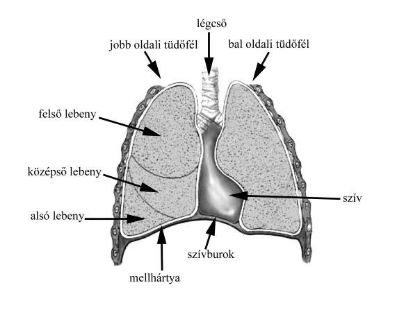 a pulmonalis keringés és a szív magas vérnyomása