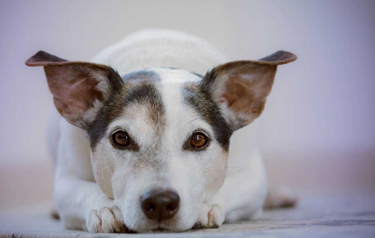 magas vérnyomás a kutya kezelésében)