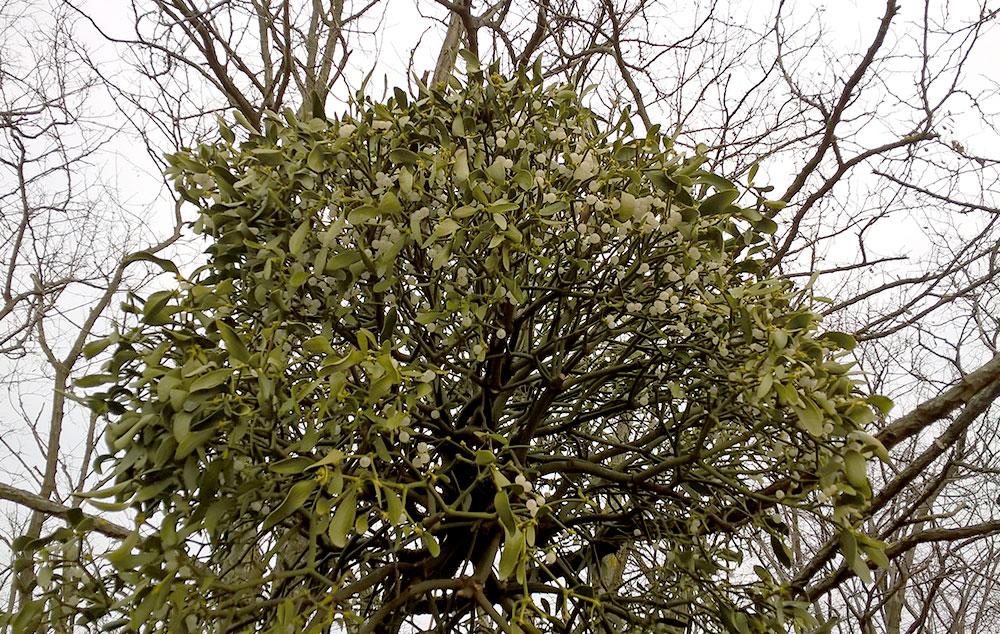 magas vérnyomású fák